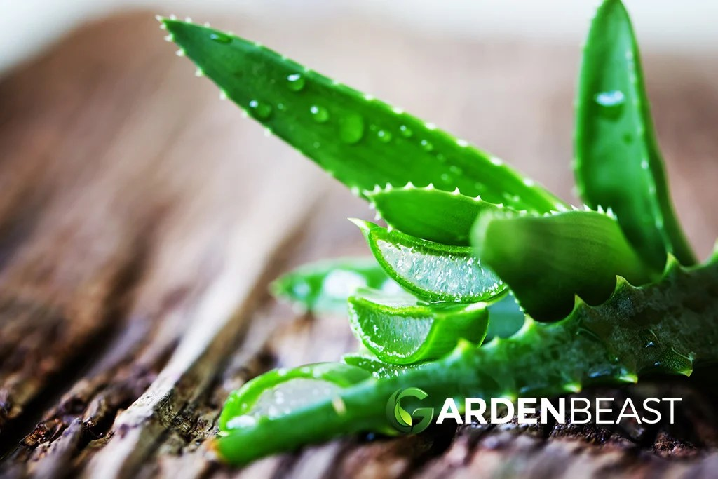 Complete Guide To Aloe Vera How To Grow Care For Aloe Plants