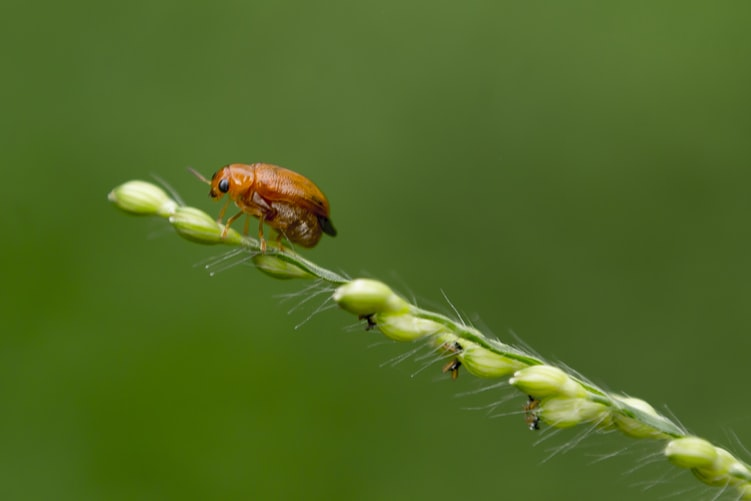 A red beetle sitting on a green plant stalk.