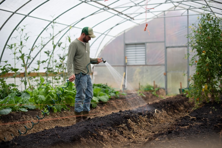 A gardener waters his vegetable crops with a hose and sprayer, in a greenhouse.