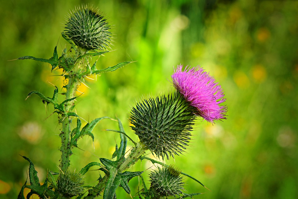 A beautiful purple flower blooming from a high weed known as thistle.