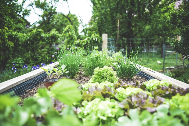 A new garden, in raised beds, bursting with green growth.
