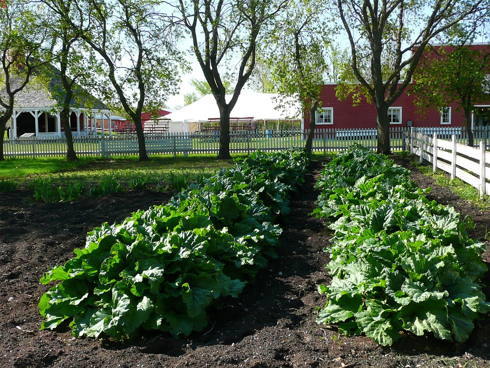 Two thick rows of greens growing in rich black soil surrounded by a white picket fence and farm buildings.