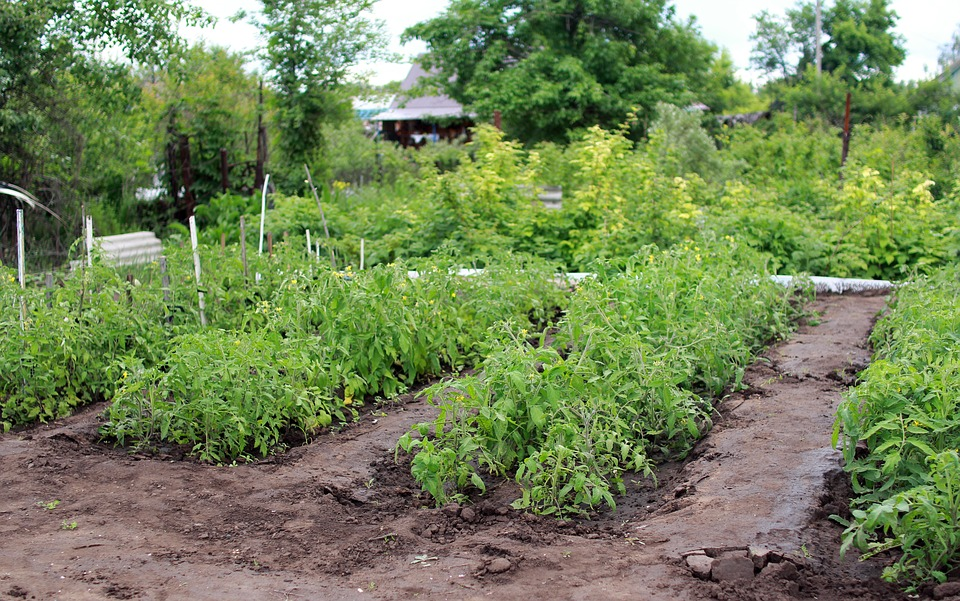 Several rows of plants, mainly tomatoes, growing in a large rural garden.