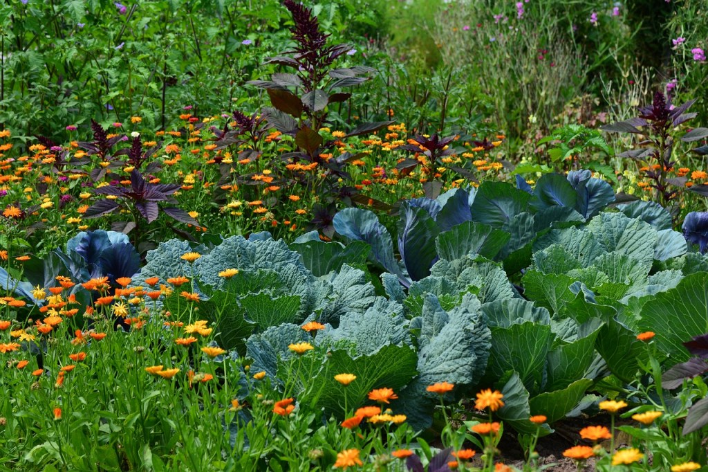 Orange and yellow marigolds surrounding large heads of cabbage growing in a garden.
