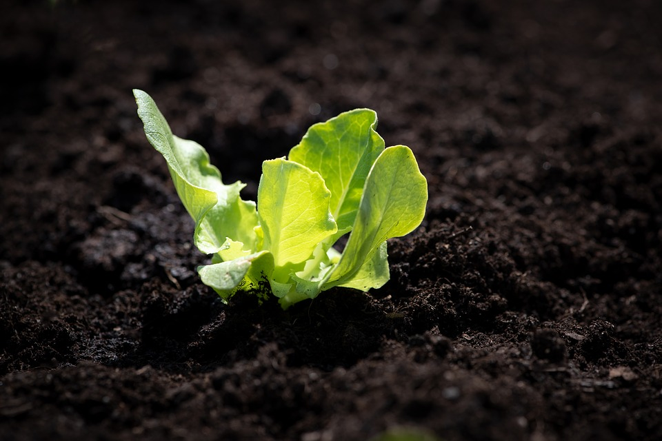A small green lettuce plant growing out of rich brown dirt.