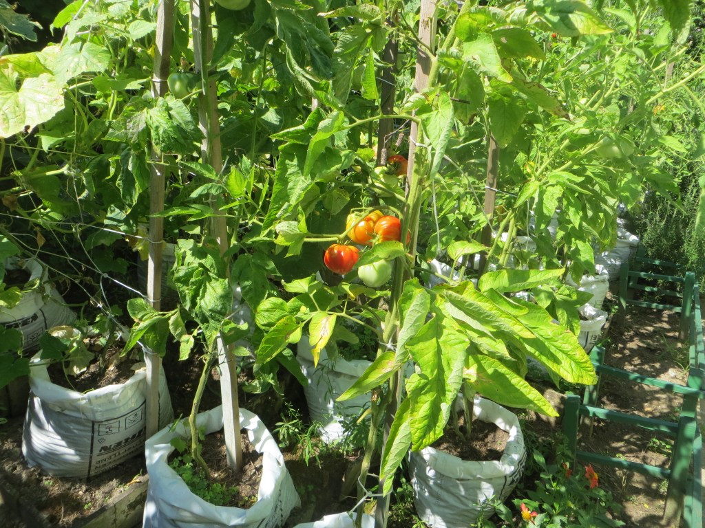 Dozens of tomatoes growing around two meters tall in a side garden made of grow bags. Several large red and green tomatoes can be seen peeking through the foilage.