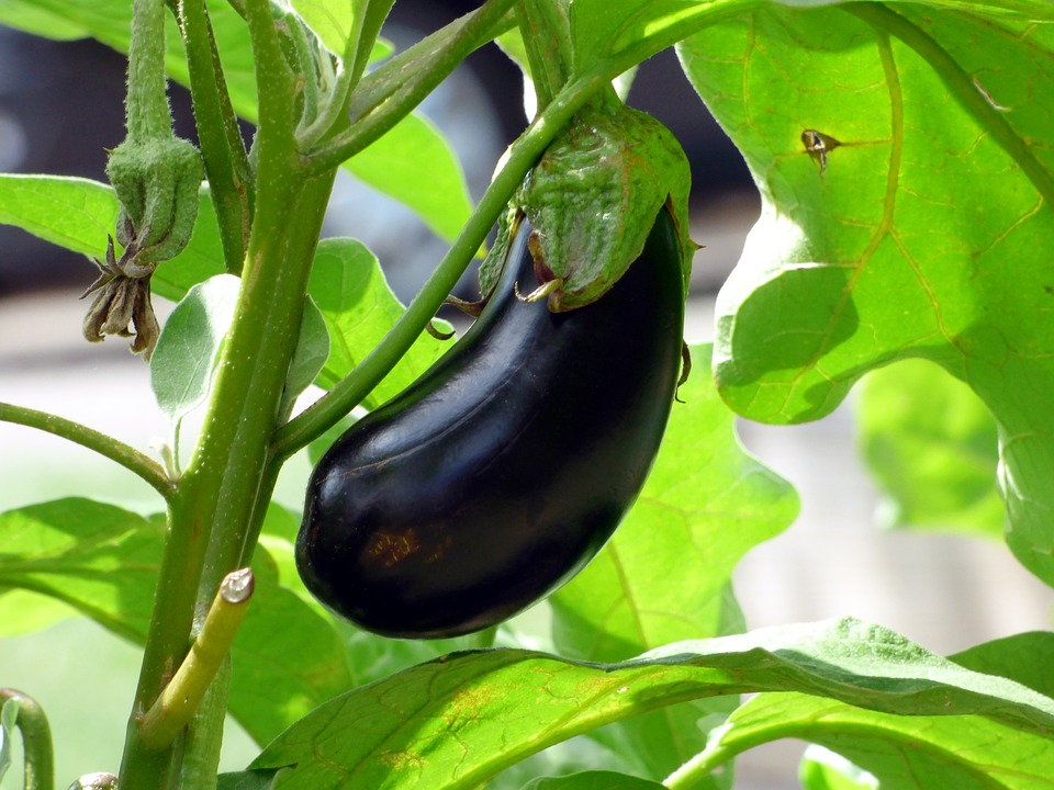 A healthy purple eggplant is ripe on the vine.