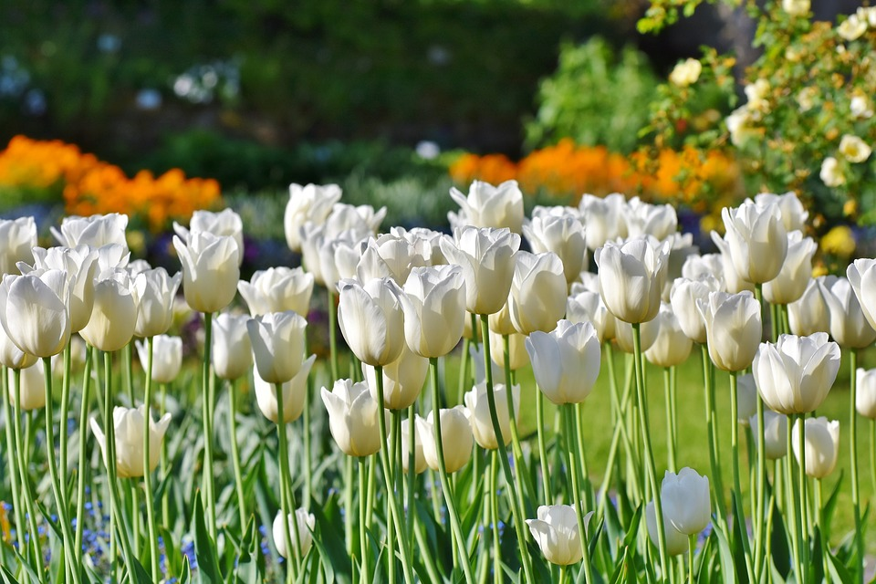 Beautiful white tulips growing in a garden surrounded by fruit trees and other flowers.