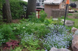 The shade garden is coming into its own -- forget me nots, white bleeding heart, the hostas, and a bird bath.
