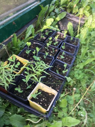 Here are some straggler sweet peas and vines. I didn't have room for them on the first round of seeding.
