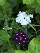 Ah, the verbena has started to flower. This one seems to like part shade.