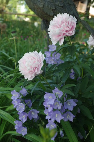 The last of the peonies and some balloon flowers