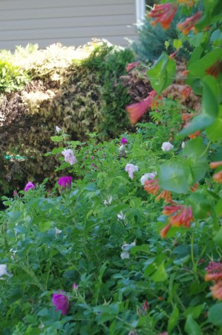 The roses and honeysuckle vine