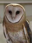 cwhiteharp / Pixabay picture of an owl