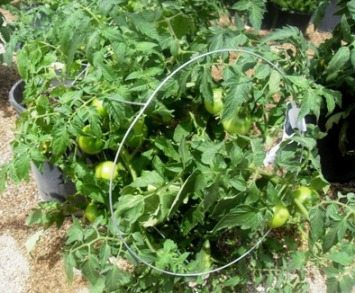 This Is NOT A Tomato Cage!