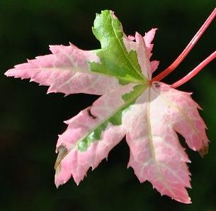 Acer palmatum - a.k.a. Japanese Maples have super similar leaf shape to that prehistoric leaf.