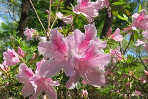 azalea,easy to grow,perennial shrub