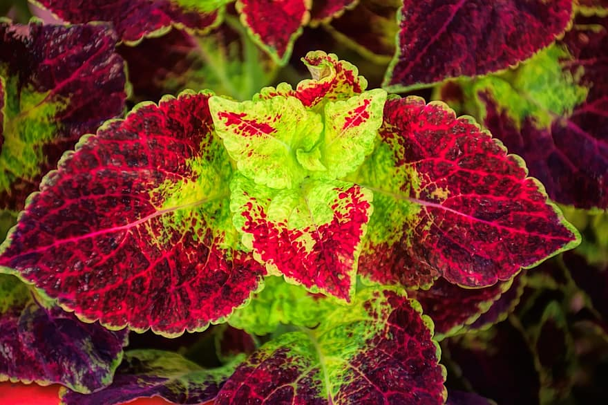 coleus-flower-plant-garden-nature-botanical-leaves-colorful-outdoor