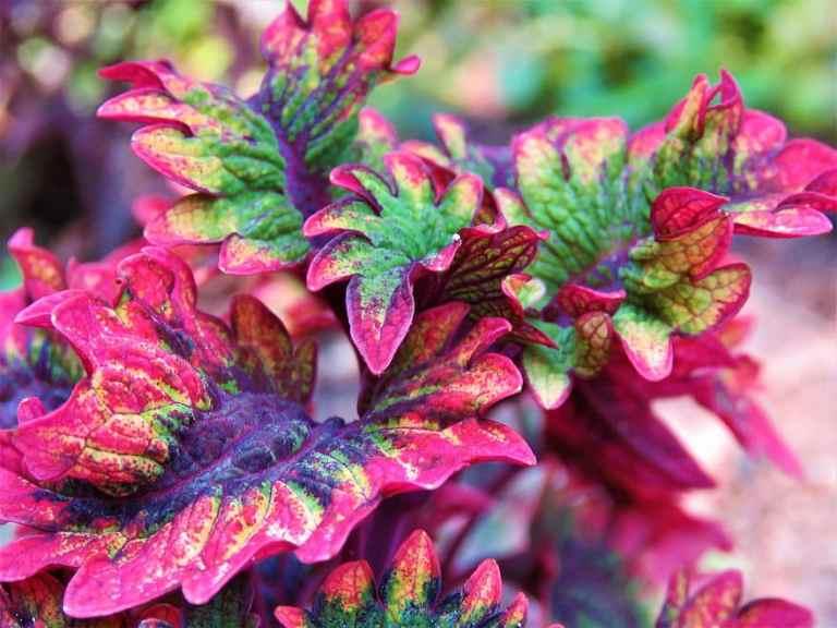 Coleus Plant Care