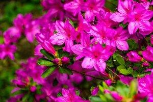 azalea,perennial,easy to grow