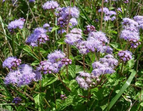 ageratum, mist flower, unusual perennial