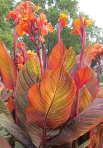 How to Prune Canna Lilies