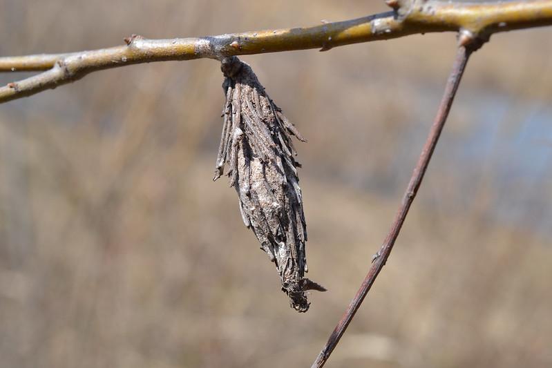 bagworm moth caterpillar