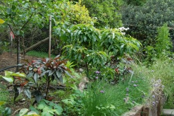 Pome and stone fruit trees in the original garden