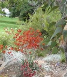 GardenDrum Linda Green Kings Park2 Anigozanthos