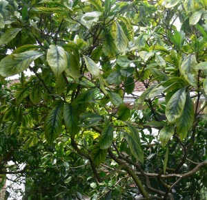 Tree health is poor & trace elements no help