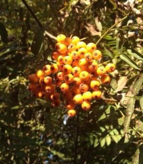Bright orange berries on a Sorbus cultivar