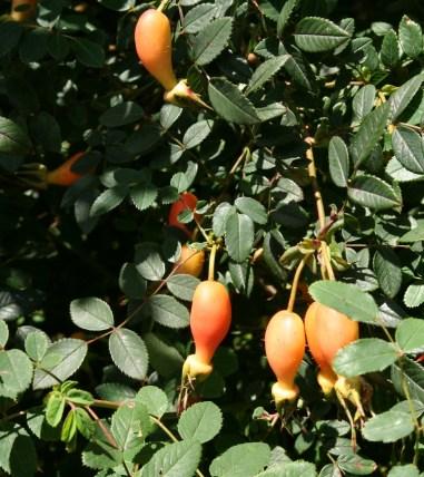 Goblet-shaped bright orange hips on Rosa moyesii