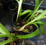 Sprouted plants of crinum bulbils. Note the one in the left of the top pot – it is white.