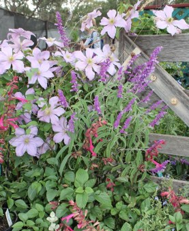 Luscious clematis and salvia from Whistlepipe Gardens