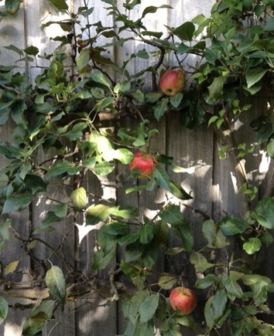 Apple 'Laxton's Fortune' espaliered against a wall