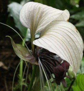 Stringybark Cottage - the unusual flowers of bat plant, Tacca integrifolia