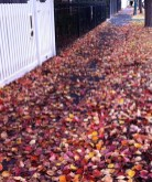 Crimson, burgundy and warm gold leaves had drifted down from the Manchurian pear trees that line the street