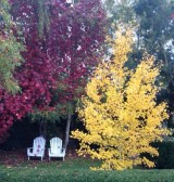 Butter-yellow ginkgo contrasts with the rich red of the ornamental grape