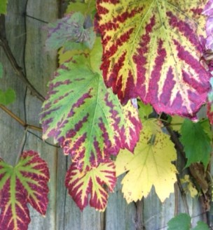 This year, the ornamental grape on the summer house is showing unusual red-coloured leaf veins, creating a stunning marbled effect