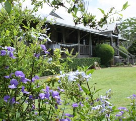 Yandina Station - rich blue of Otacanthus and plumbago