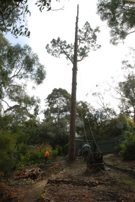 The Hills Arborists get to work on the Canary Island pine