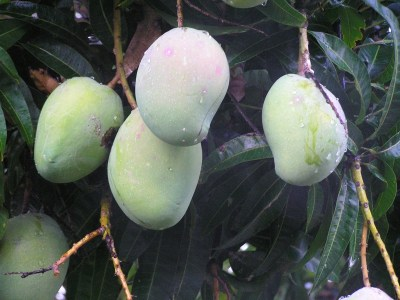 Phil Dudman mango fruit