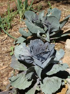 My mini red 'gourmet' cabbages