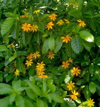 Gardenia gjellerupii in the National Botanic Garden in Singapore