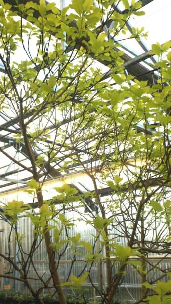 Golden Smoke tree
