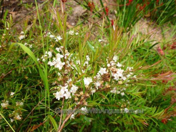 austromyrtus-dulcis-midyim-006