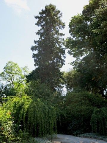 Sequoia sempervirens planted in 1863 at the Grand Opening of the Gardens