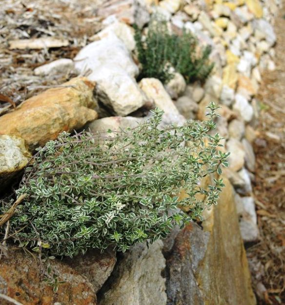 Culinary herbs in dry stone retaining wall
