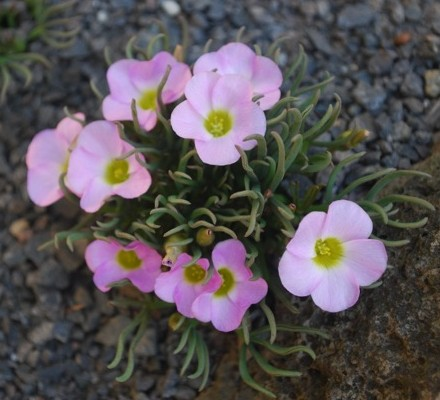 Oxalis cultivar Photo Stephen Ryan