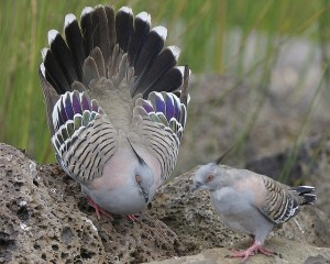 Crested pigeon - will she or won't she? Photo Lip Kee